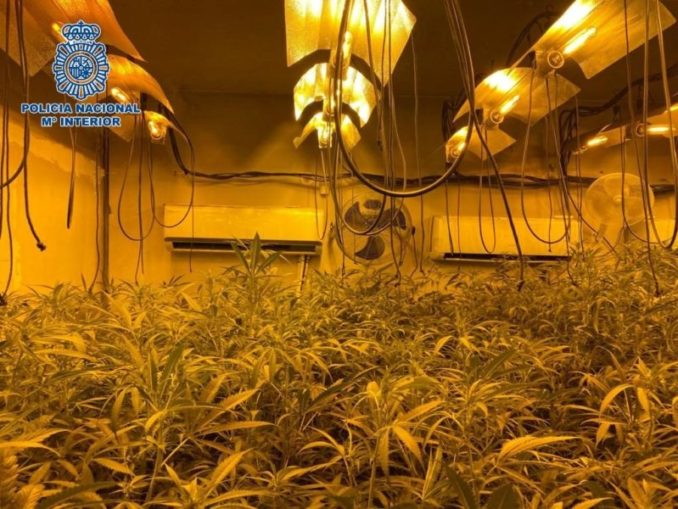 Desmantelan una de las  plantaciones de marihuana de Córdoba con más de 85 kilos,